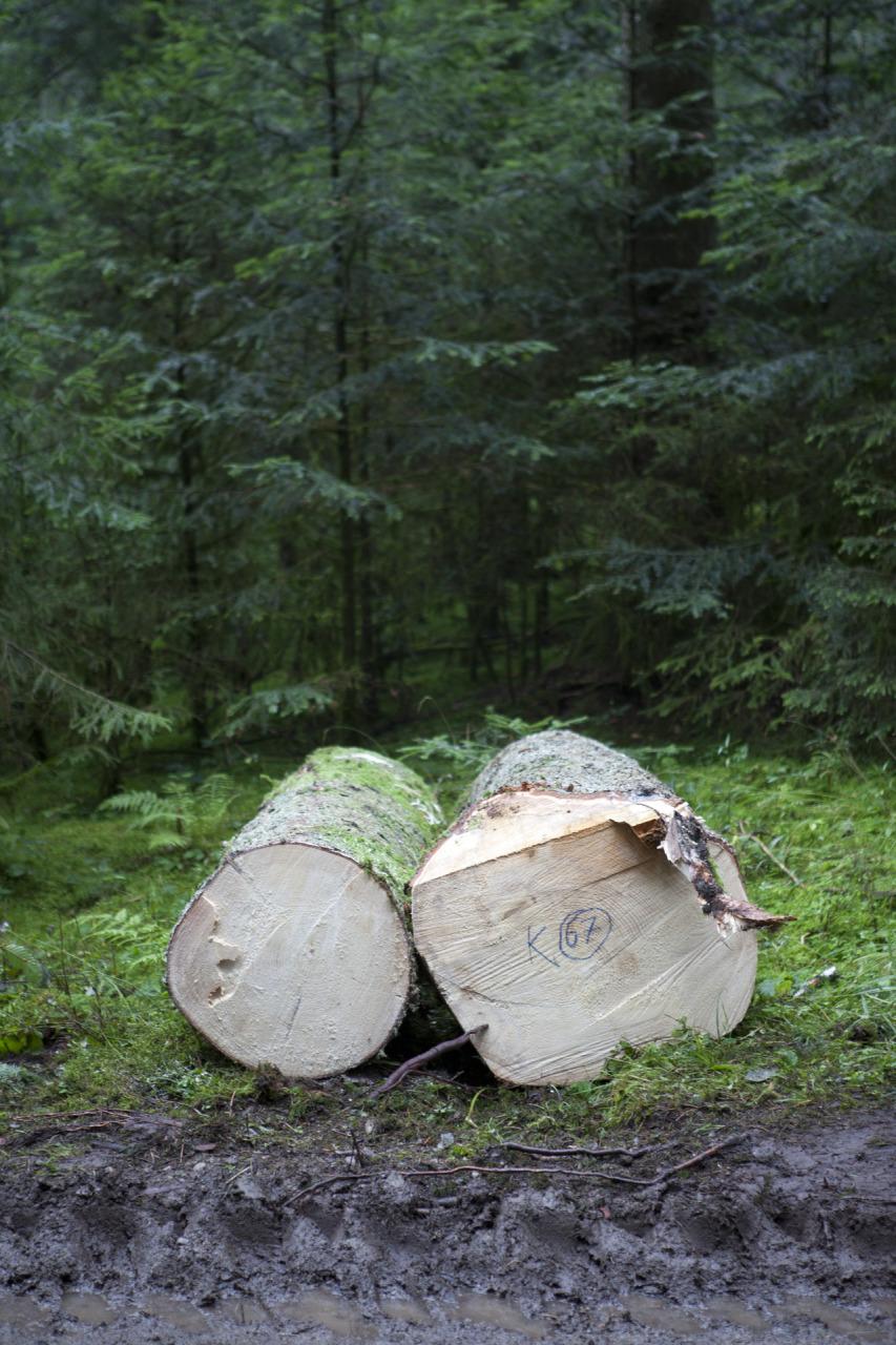lucyarnold_forester_treetrunks